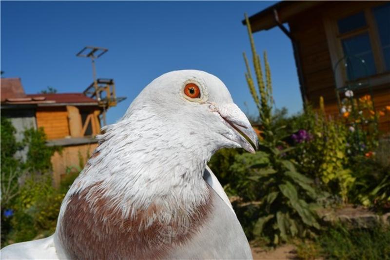 Тюменские голубеводы готовятся к Олимпиаде