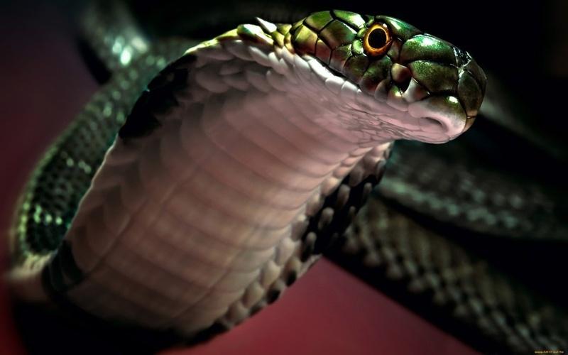 Пьяная кобра: змея возле жилых домов заставила тюменцев шутить - фото