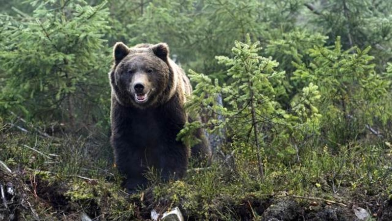 Спасаясь от медведя, мужчина утонул в реке