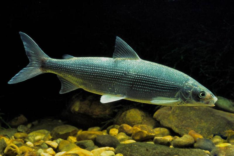 На южных тюменских озерах улучшают кормовую базу для рыбы