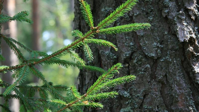 В Тюмени экспертов беспокоит состояние хвойных деревьев